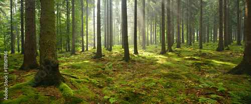 Spruce Tree Forest, Sunbeams through Fog illuminating Moss Covered Forest Floor, Creating a Mystic Atmosphere - 118161946