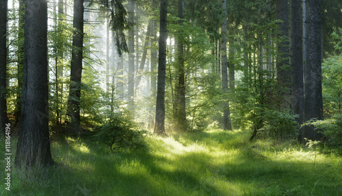 natural-forest-of-spruce-trees-sunbeams-through-fog