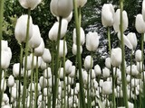 Forest of white tulips