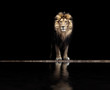 Leinwandbild Motiv Portrait of a Beautiful lion, lion at the waterhole