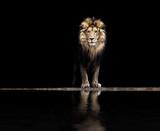 Portret pięknego lwa