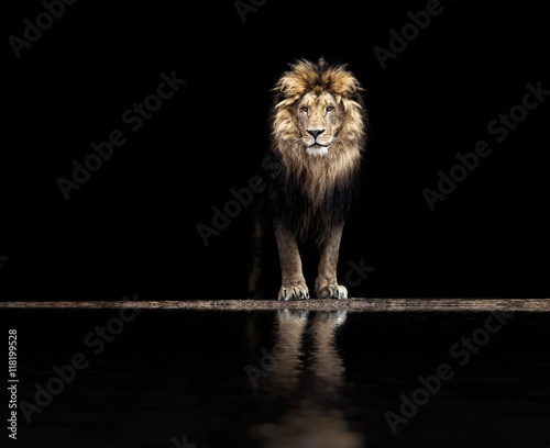 Obraz Fotograficzny Portrait of a Beautiful lion, lion at the waterhole