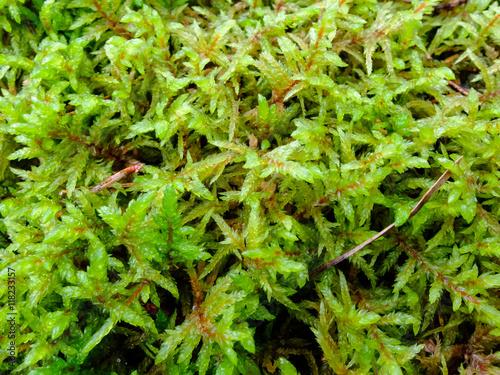 Foto op Plexiglas Landschappen Texture of the Moss beautiful macro. The Nature Of The North. The moss plant covering. Soft plant of the North.