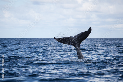 Poster Humpback Whale Tail and Ocean