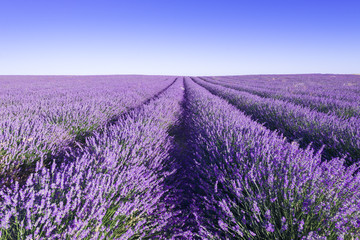 Provence, Lavender field at day. France