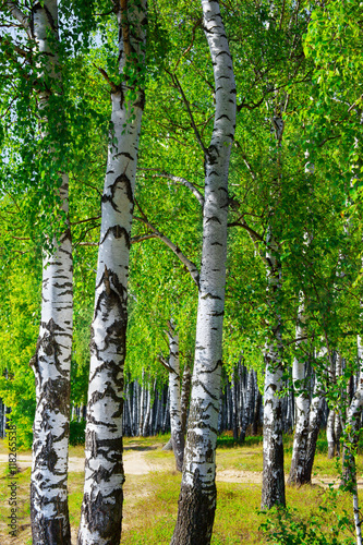 Fotobehang Lime groen summer in birch forest