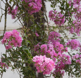 pink oleander Bush as the background of retro