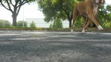 A tan colored pit bull happily jogs past the camera in a parking lot.
