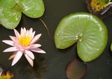 Pink aquatic waterlily flowers in a pond