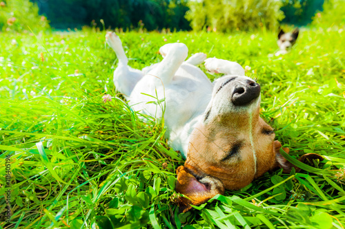 Foto op Plexiglas Crazy dog dog siesta at park