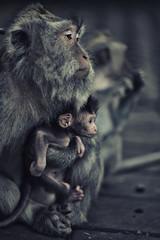 Affe mit Baby. Das Bild wurde im Monkey Forest (Bali/Ubud) aufgenmmen. © artandbeauty