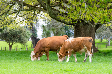 Brown and white cow eating grass in New Zealand.