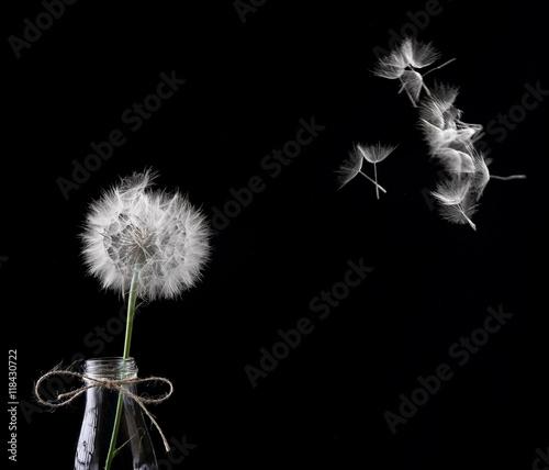 Blowing dandelionin the glass bottle.Dandelion in focus seeds de