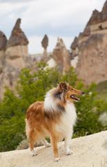Collie dog in cappadocia