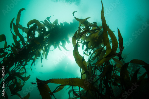 Poster Water planten Giant Kelp Growing Upwards