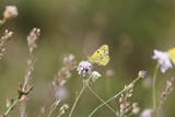 Yellow butterfly on the summer meadow