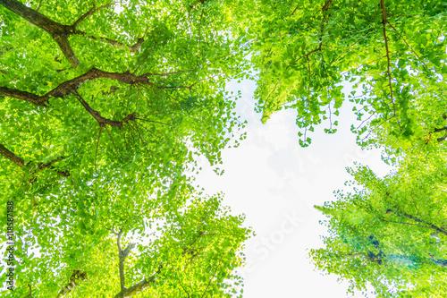 Poster 新緑のいちょう