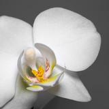Fototapety orchid flower closeup