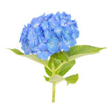 Blue Hydrangea macrophylla flower isolated on white background..
