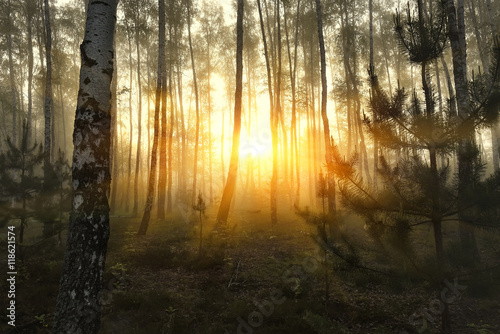 birch forest at dawn in the mist. The sun's rays make their way through the trees. Natural background.