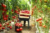 harvest ripe tomatoes - 118636581