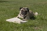 Schattig mopshondje ligt in het gras en leest een boek