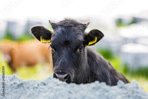 Poster Cute black calf