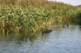 Утки в камышах на озере