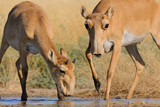 Wild Saiga antelopes at the watering place in the morning