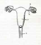 Uterus of viverra (from Meyers Lexikon, 1895, 7 vol.)