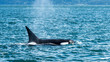 Killer Whale on the Surface