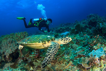 Scuba dive sea turtle