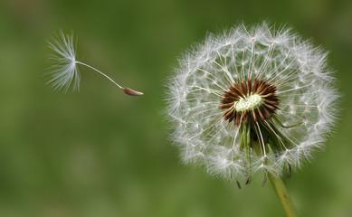 Dandelion condolence or sympathy card design with seeds