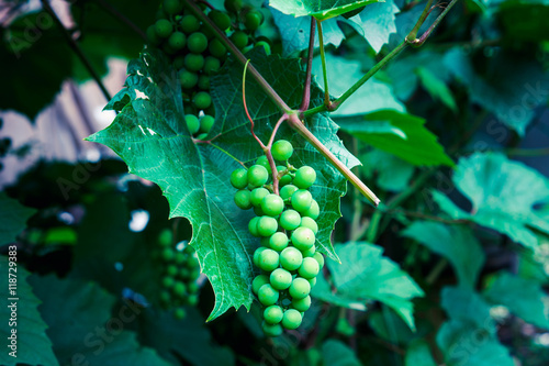 Grape ripening on the vine. Selective focus. Poster