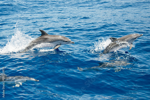 Fototapeta Atlantic spotted dolphins