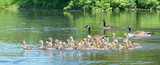 Canada geese bring their goslings together in flocks often referred to as creches.  It