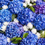 Blue Hydrangea flowers background. Top view