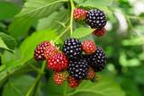 Blackberry bush with selective focus - 118746780