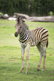 Young zebra walking