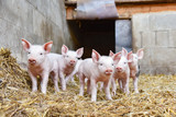 Cute - group of young piglets in straw - 118748712