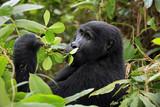 Mountain Gorilla (Gorilla beringei beringei) Feeding. Bwindi Impenetrable National Park, Uganda
