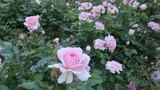 White roses plant in  garden