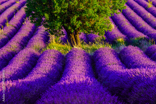 Lavender field at plateau Valensole, Provence, France - 118764933