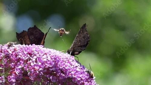 Zdjęcia na płótnie, fototapety, obrazy : Butterfly and bee  on purple Flower in the nature