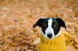 Cute female dog wearing warm scarf on autumn season