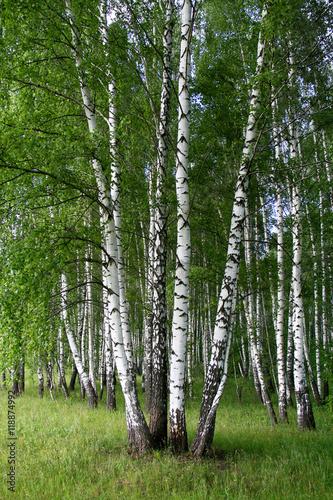 Papiers peints Bosquet de bouleaux Birch trees