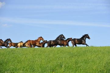 Pferde galoppieren über Weide