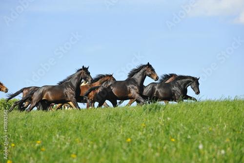Poster Pferde galoppieren über Weide