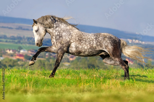 Poster Beautiful grey andalusian horse with long mane run gallop against mountain view