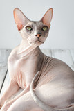 cute cat sphinx